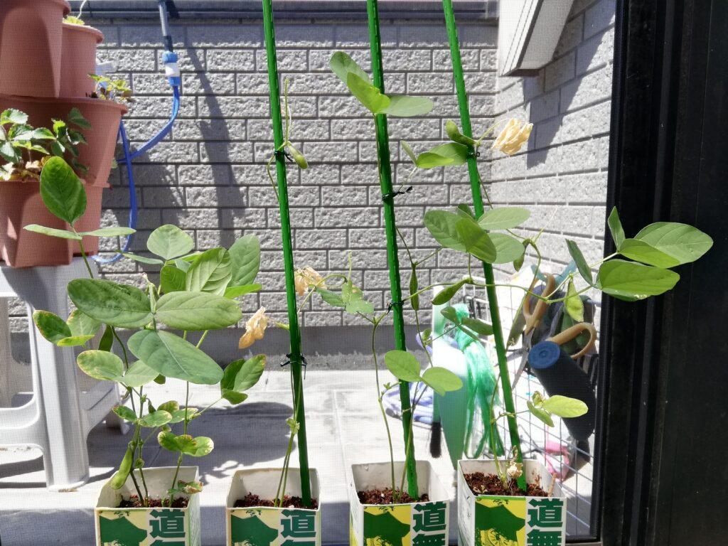 枝豆の牛乳パック栽培